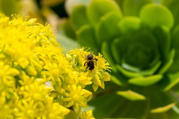 Szczegół europejska lub zachodnia miodowa pszczoła zapyla na żółtych kwiatach z ciepłym światłem słonecznym na wiosny popołudniu. pszczoły pracujące na żółtych i zielonych kwiatach. koncepcja zmiany klimatu. alergia na pyłki.