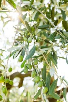 Szczegół gałąź drzewa oliwnego na tuscany wzgórzu.