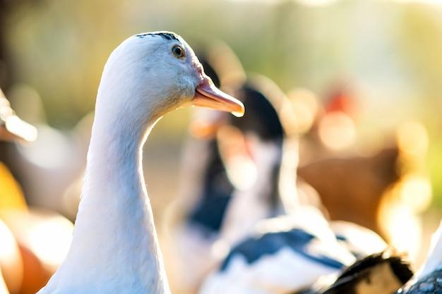 Szczegół głowy kaczki. kaczki żywią się tradycyjnym wiejskim podwórkiem.