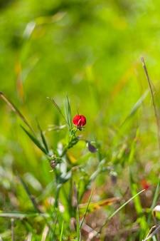 Szczegół kwitnienia czerwonej wyki pospolitej lub vicia sativa l. rosnącej na polach estremadury
