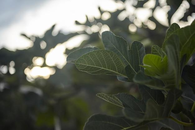 Szczegół liścia figowego z widocznymi wszystkimi żyłkami i szczegółami, które go tworzą.