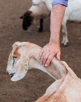 Szczegół mężczyzna pieszczoty kozy