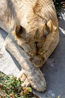 Szczegół portret białej lwicy. widok z góry. łapy krzyżują się. park taigan