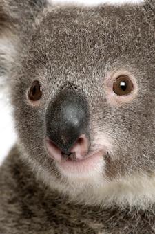 Szczegół portret męskiego niedźwiedzia koali, phascolarctos cinereus,