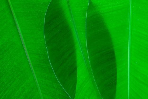 Szczegół świeży bananowy liść dla tła i projekta
