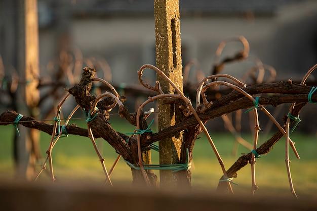 Szczegół winnic przeznaczonych do nowej produkcji