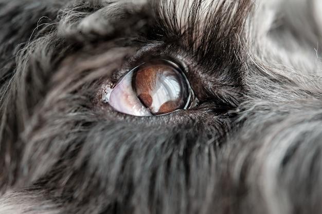 Szczegół zdjęcia oka psa sznaucera
