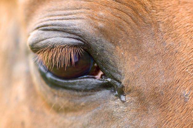 Szczegółowo czerwone oko konia