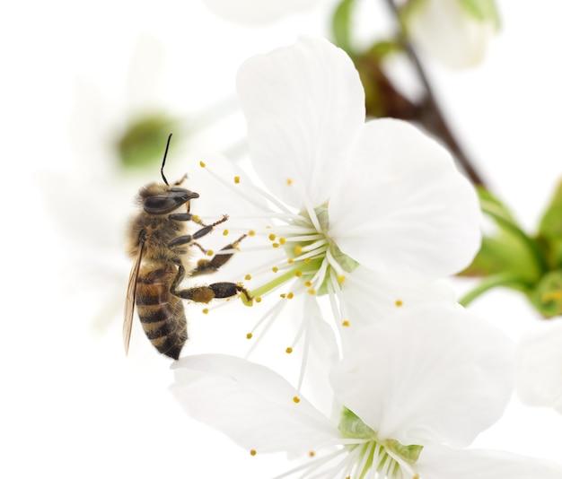 Szczegółowo kwiaty pszczoły miodnej i białej wiśni