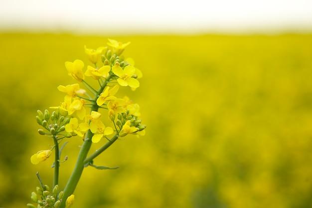 Szczegółowo kwitnący rzepak rzepakowy pole rolne z kwiatami rzepaku przemysł naftowy