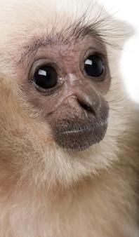 Szczegółowy strzał młodego pileated gibbon,