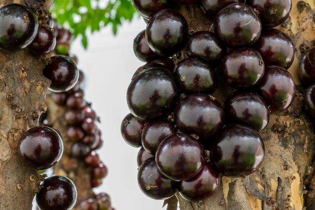 Szczegóły dojrzewania jabuticabas na drzewie. jaboticaba to rodzime brazylijskie wino.