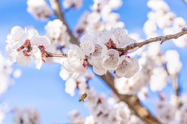 Szczegóły kwiatów moreli, kwiatów i owadów wiosną