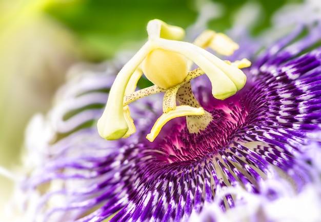 Szczegóły kwitnącego purpurowego kwiatu passiflory