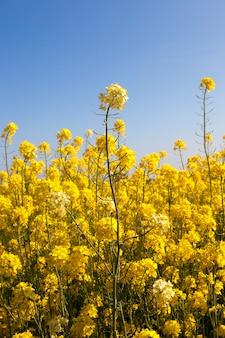 Szczegóły kwitnienia rzepaku lub coleseed w polu wiosną, zbliżenie zdjęcie na błękitne niebo