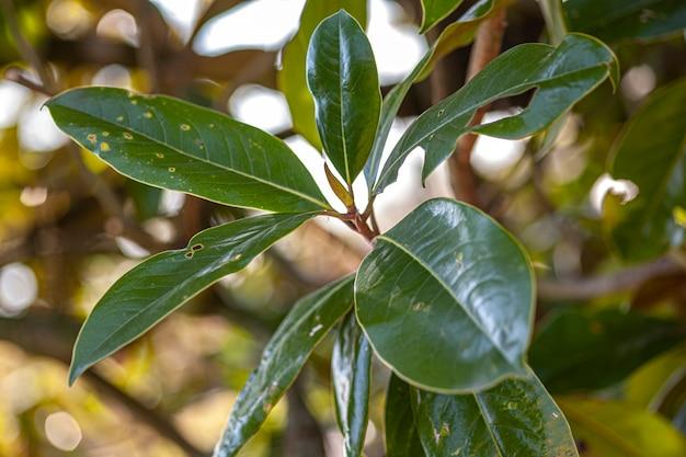Szczegóły liści magnolii, zdjęcie zrobione wiosną