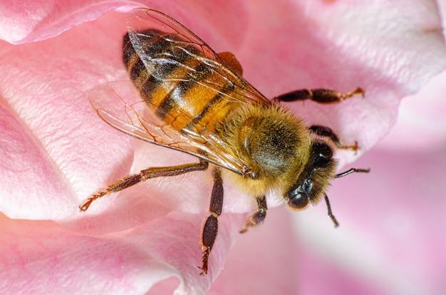 Szczegóły makro małej pszczoły na róży