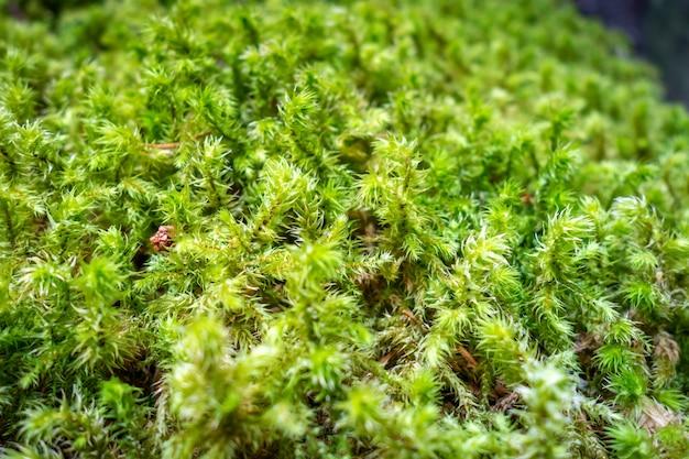 Szczegóły mchu w lesie parku narodowego vanoise