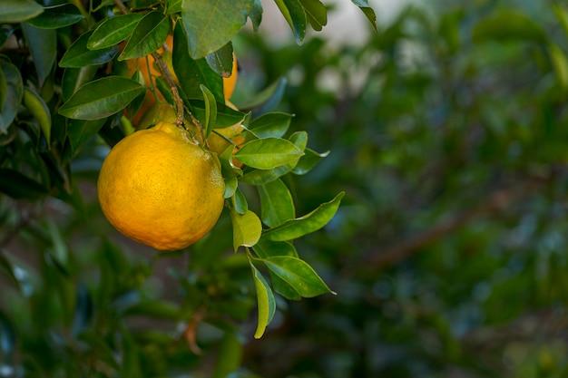 Szczegóły organicznych owoców mandarynki w drzewie przydomowym