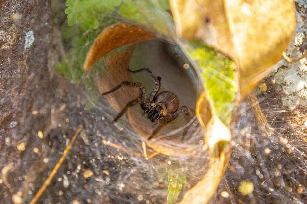 Szczegóły pająka z długimi nogami wychodzącymi z pajęczyny i patrząc