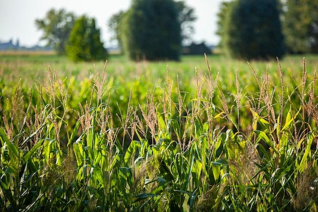 Szczegóły pola kukurydzy o zachodzie słońca w okresie letnim