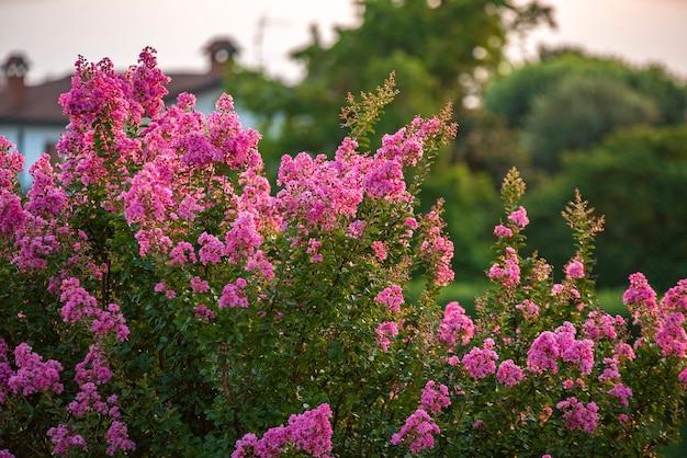 Szczegóły rośliny lagerstroemia w okresie kwitnienia o zachodzie słońca