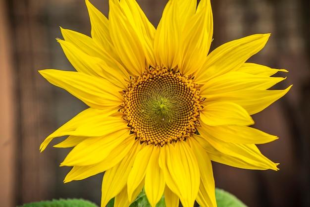 Szczegóły słonecznika wiosną podczas fazy wzrostu