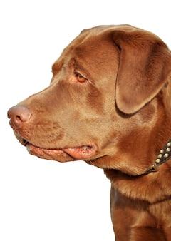 Szczelnie-do góry czekoladowy labrador z metalowym kołnierzem.