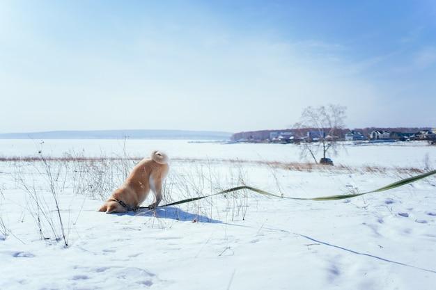 Szczeniak akita inu po południu zakopał głowę w śniegu na zaśnieżonym polu