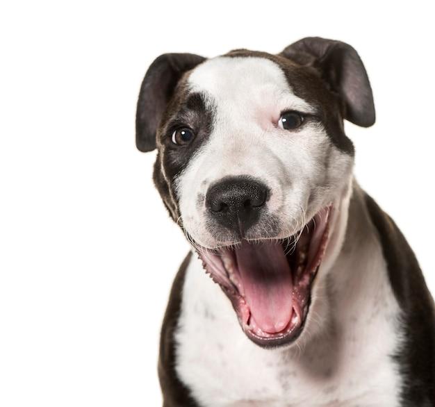Szczeniak american staffordshire terrier, 3 miesiące, na białej powierzchni