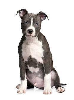 Szczeniak american staffordshire terrier z 3 miesiącami.