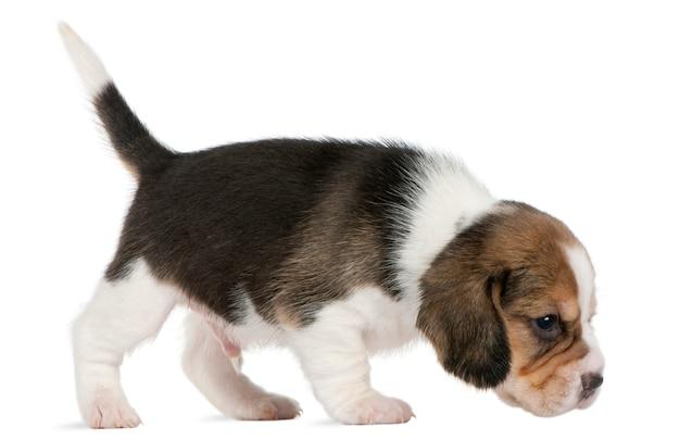 Szczeniak beagle, 1 miesiąc, chodzenie