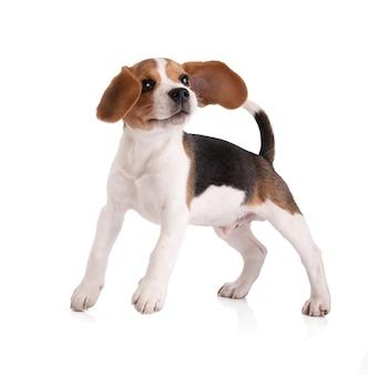 Szczeniak beagle skacze na białej powierzchni