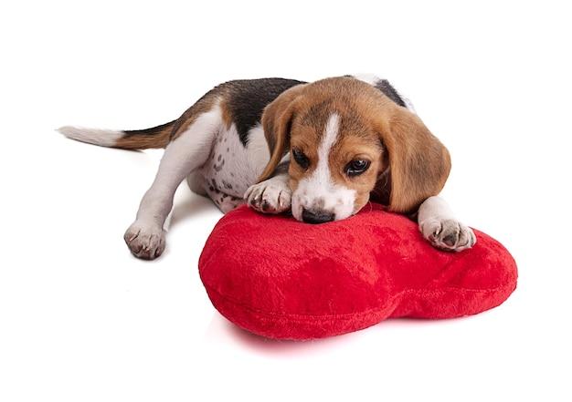Szczeniak beagle z czerwonym pluszowym sercem