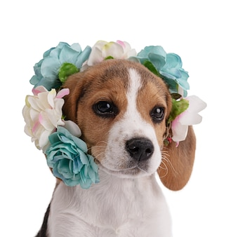 Szczeniak beagle z kwiatami wokół głowy na białej przestrzeni