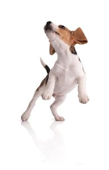 Szczeniak beagle zabawy skoki na białym pokoju