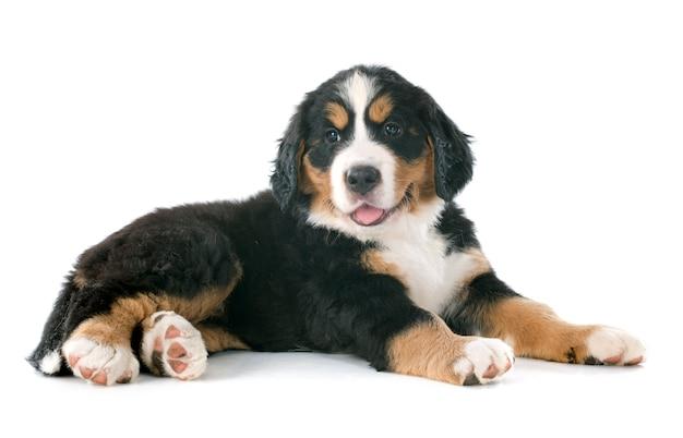 Szczeniak berneński pies