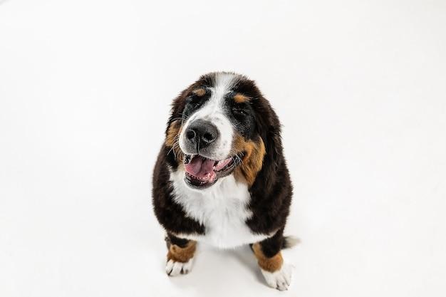 Szczeniak berner sennenhund pozowanie