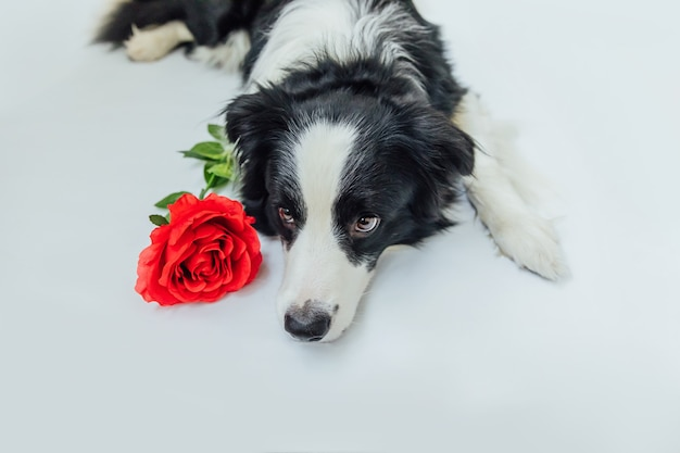 Szczeniak border collie w pozycji leżącej z czerwonym kwiatem róży na białym tle