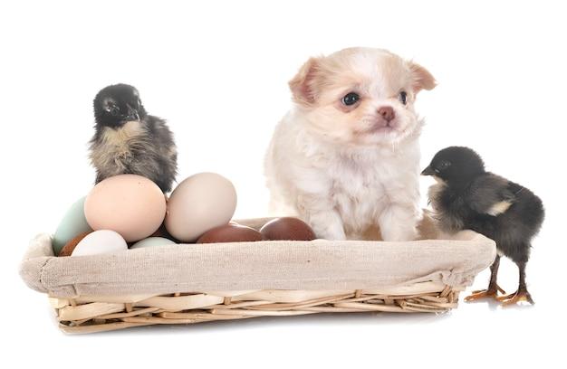Szczeniak chihuahua i pisklęta