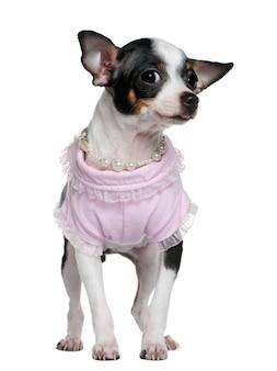 Szczeniak chihuahua ubrany w róż i perły, 5 miesięcy,