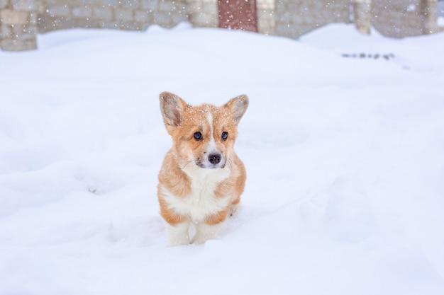 Szczeniak corgi na zimowy spacer po śniegu