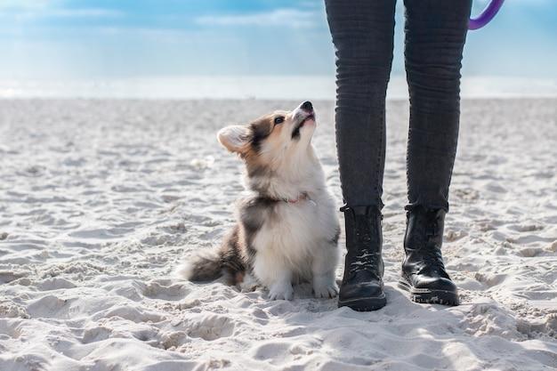 Szczeniak corgi o posłuszeństwie. lekcja na plaży.