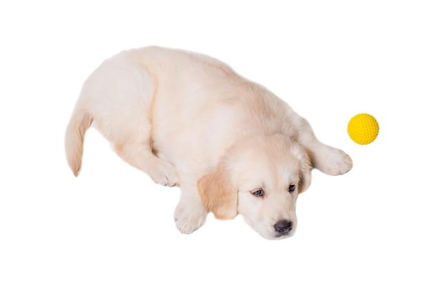 Szczeniak golden retriever na białym tle na białym tle. spanie