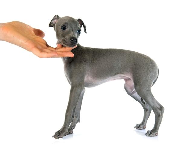 Szczeniak greyhound