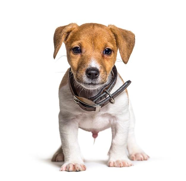 Szczeniak jack russel terrier pies, dwa miesiące, na białym tle