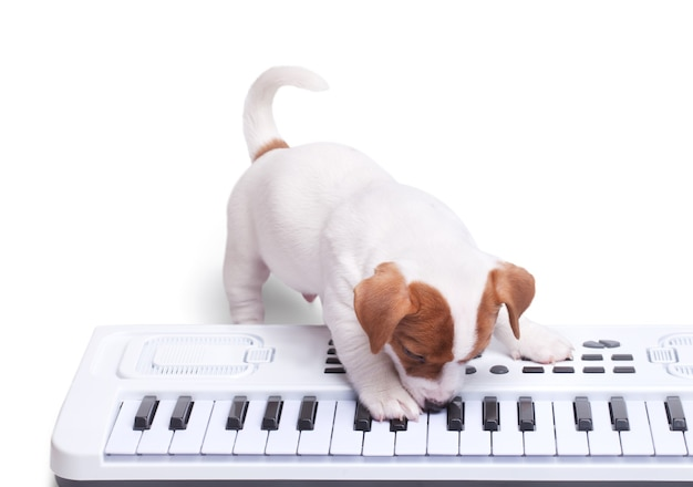 Szczeniak jack russell grający na syntezatorze. odosobniony