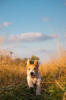 Szczeniak jack russell terrier biegający w polu na wysokiej jesiennej trawie