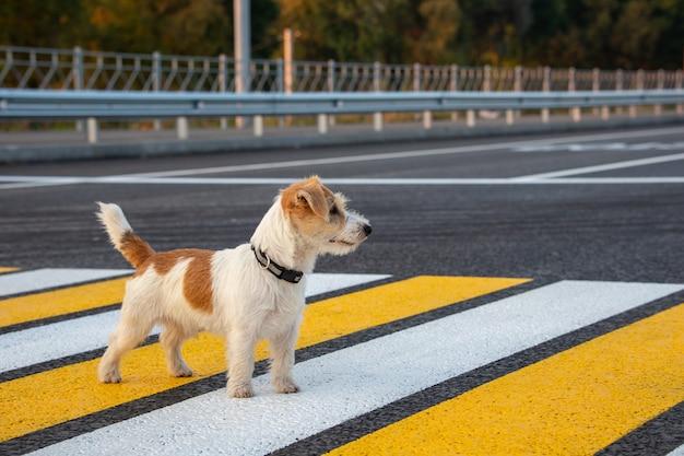 Szczeniak jack russell terrier biegnie samotnie na przejściu dla pieszych po drugiej stronie ulicy