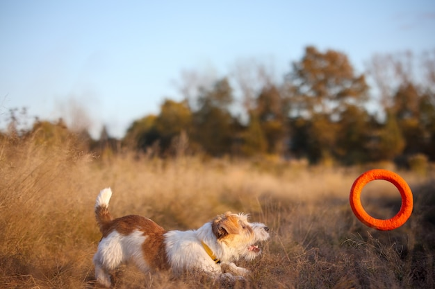 Szczeniak jack russell terrier łapie pomarańczowego pullera na jesiennym polu